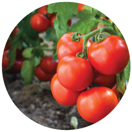 Pallman Farms Tomatoes
